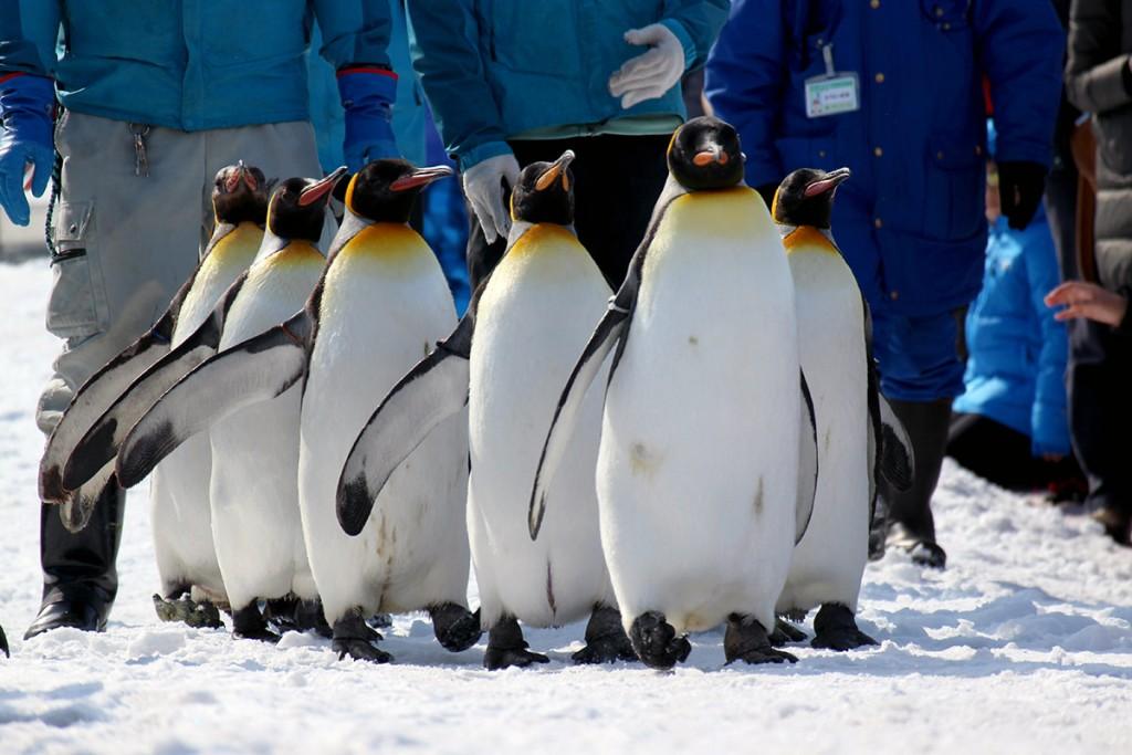 キングペンギンの散歩は動画でもお楽しみください