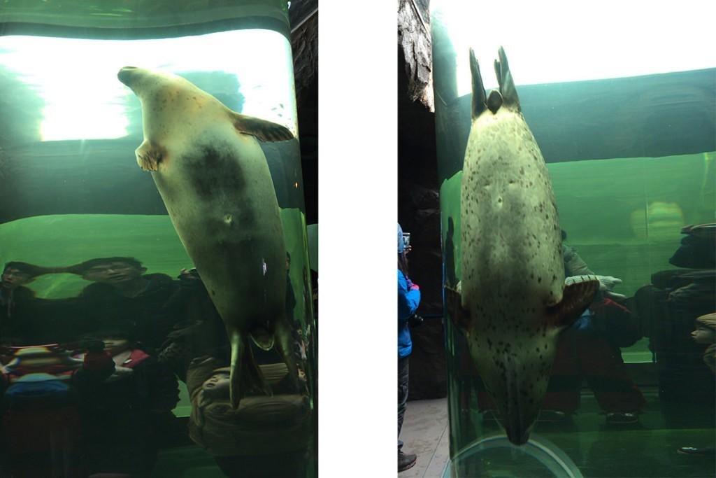 マリンウェイを泳ぎ回るアザラシ。