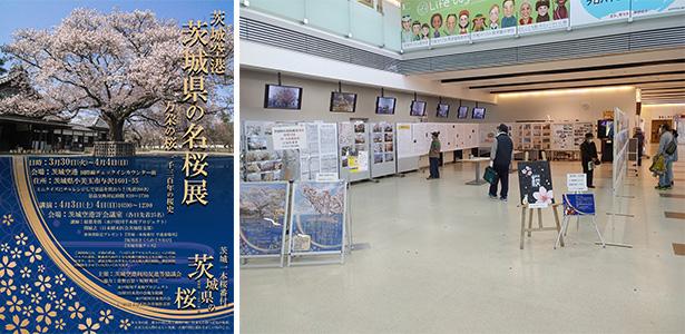 茨城県の名桜展